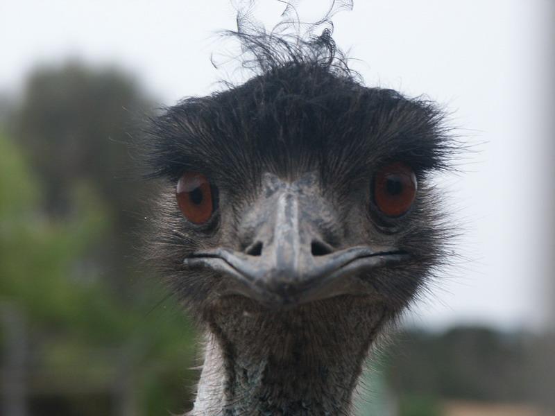 Страус Эму - страусиная ферма